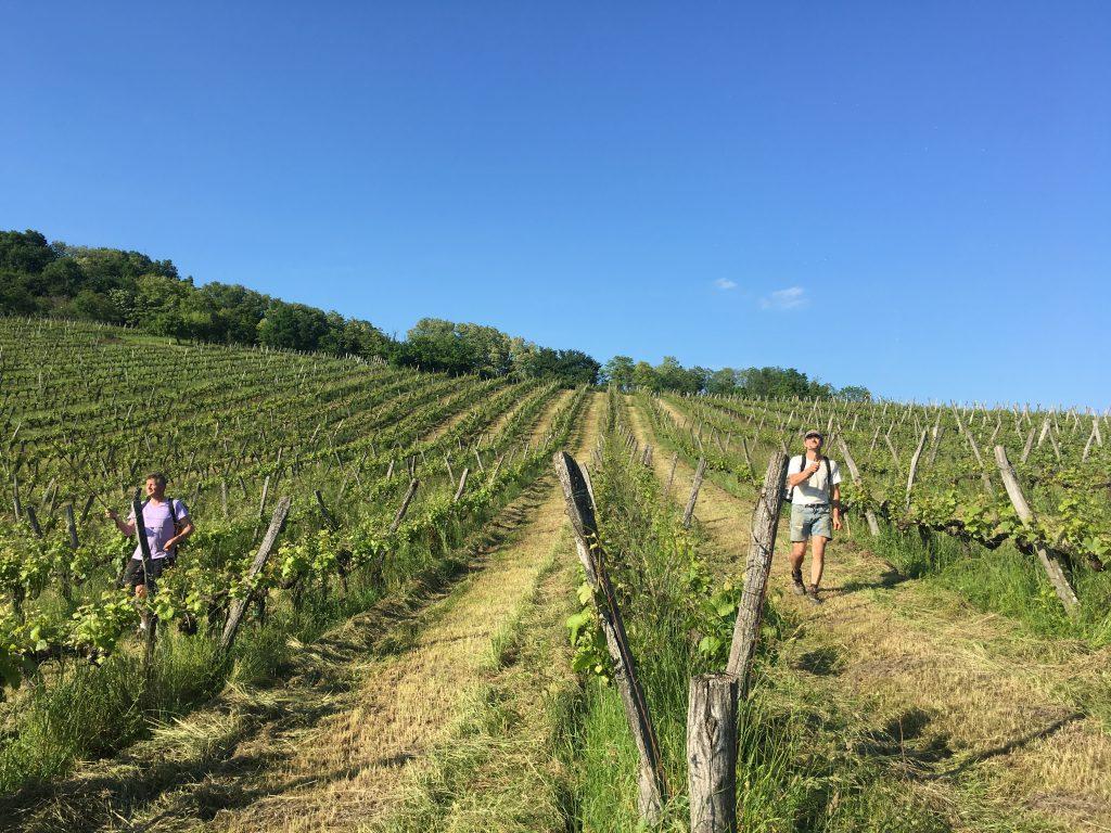 Pierre & Gilles en train de biodynamiser la vigne avec des de corne de boeuf 500P